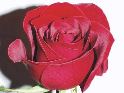 scarlet-rose